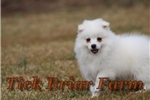 Picture of Miniature Female (Tinkerbell)