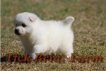 Picture of Miniature Male (Buster)