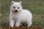 Huskimo Female (Fuzimo) | Puppy at 8 weeks of age for sale