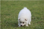 Picture of Miniature Male (Dusty)