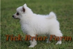 Picture of Miniature Female (Shimmer)