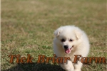 Picture of Miniature Male (Jasper)