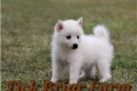 Huskimo Male (Juno) | Puppy at 8 weeks of age for sale