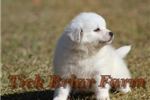 Picture of Miniature Male (Corky)