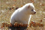 Picture of Male (Polar Bear)