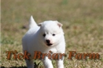 Picture of Huskimo Female (Sugar)