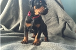 Picture of AKC Champion Bloodline Doberman Pinscher Puppies