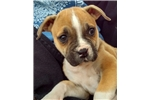 American Bulldog | Puppy at 20 weeks of age for sale