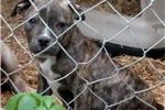 Picture of 3/4 English Bulldogge 1/4 Catahoula