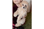 Picture of Small toy poodle Missy