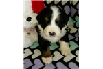 Picture of Great/Bernese cross. Bruce is a boy!
