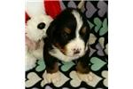 Picture of Great/Bernese cross. Jasper is a boy!