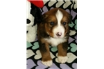 Picture of Great/Bernese cross. Teddy is a boy!