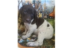 Picture of AKC German Shorthair puppy!