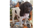 Picture of AKC Registered German Shorthair puppy!
