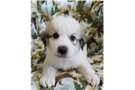 Picture of Great Pyrenees