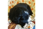 Picture of Newfoundland & Bernese Mountain dog cross