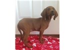 Picture of UKC registered Redbone coon hound.
