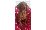 Picture of UKC registered Redbone coon hound puppy!