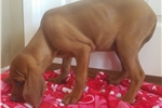 Picture of UKC registered Redbone coon hound!