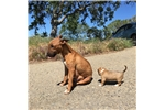 Picture of Female mini bull terrier puppy