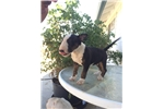 Picture of Mini Bull Terrier Puppy For Sale