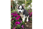 Picture of AKC Siberian Husky Wild Willy