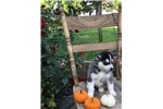 Picture of AKC Siberian Husky Jake