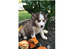 AKC Siberian Husky Rodney | Puppy at 7 weeks of age for sale