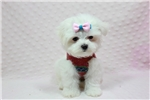 Picture of Cute small Maltese Puppies Available Now!
