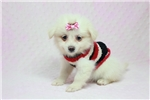 Malti Pom Maltipoms for sale