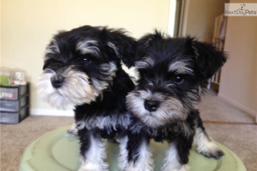 Miniature Dogs For Sale Near Me
