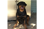 Picture of Champion Sired German Rottweiler Puppy - Male O