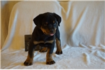 Picture of AKC German Rott Champion Import Sired Male Pup