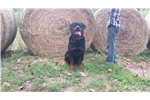 Picture of Int. Champ Sired European Rottweiler Puppy
