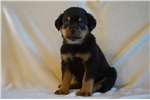 Picture of Champion German Big-Sized Bloodline Male Rott Pup