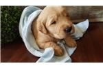 Picture of AKC Golden Retriever Puppies