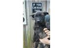Picture of Dutch Shepherd/Malinois Puppy