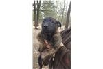 Dutch Shepherds for sale