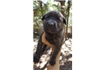 Picture of Dutch Shepherd/Malinois Puppy