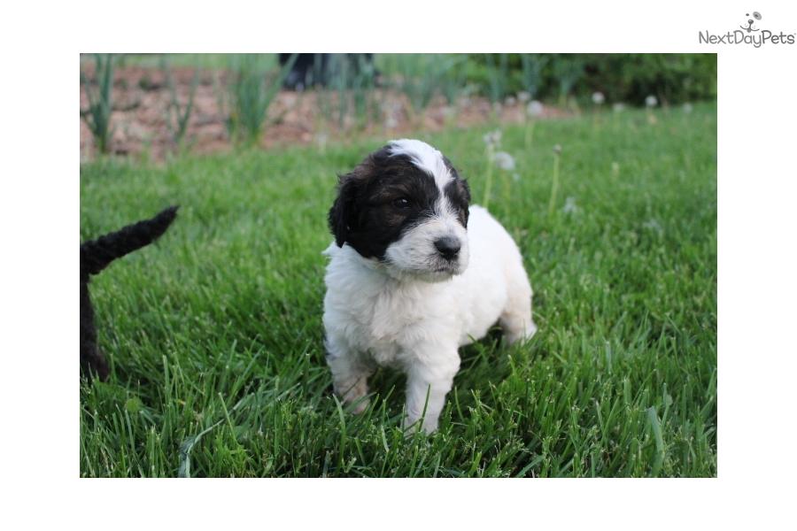 St Bernard Dogs For Sale Ontario