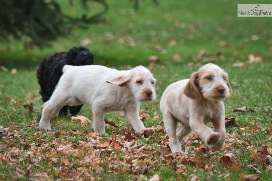 Spinone Italiano Puppy Breeders Spinone Italiano Puppy For