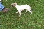 Picture of AKC Whippet Puppy