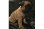 Picture of Frenchie Fawn Female
