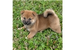 Picture of Simikins the beautiful Red Sesame Shiba Pup
