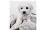 Picture of Bella the MaltiPoo