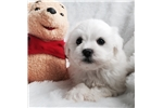 Picture of Lucy the MaltiPoo