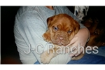 Picture of AKC Dogues!
