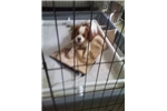 Picture of CUTE ADOREABLE KING CHARLES SPAINEL 4 SALE