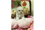 Picture of Bichon Frise Female Puppy